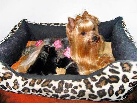 naissance yorkshire terrier
