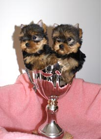 pedigree yorkshire terrier