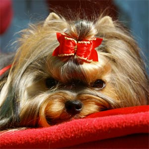 expression yorkshire terrier