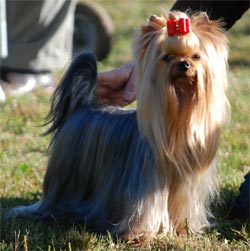 club de race yorkshire terrier